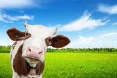 Ko och fält med färskt gräs — Stockfoto