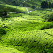 Foto Stock: Tea plantation Cameron highlands, Malaysia