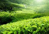 Tea plantation Cameron highlands, Malaysia — Stock Photo