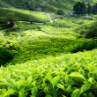 Tea plantation Cameron highlands, Malaysia — Stockfoto #8775193