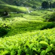 Tea plantation Cameron highlands, Malaysia — Stock Photo #8775193