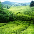 Teplantation Cameron highlands, Malaysia — Stock Photo #8775207