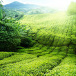 Tea plantation Cameron highlands, Malaysia - Foto de Stock