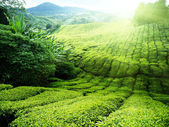 Tea plantation Cameron highlands, Malaysia — Stock Photo