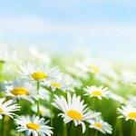 fält av daisy blommor — Stockfoto #9013082