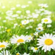 Field of daisy flowers — Stock Photo #9013148