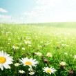 Field of wild flowers — Stock Photo #9013151