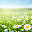 Field of daisy flowers - Stock Photo
