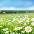 Field of daisy flowers — Stock Photo #9013157