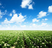 Potatos field — Stock Photo