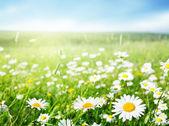 Pole kwiatów stokrotka — Zdjęcie stockowe