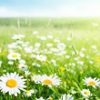field of gänseblümchenblumen — Stockfoto #9230055