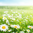 Field of daisy flowers — Stockfoto #9230055