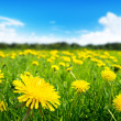 Field of spring flowers - Foto de Stock