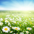 Field of daisy flowers — Stock Photo #9231569