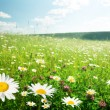 Field of wild flowers — Foto de Stock