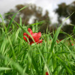 Stock Photo: One poppy between grass