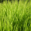 Green grass — Stock Photo #10569121