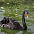 black swan — Stock Photo