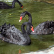 Two black swans — Stock Photo #10569162