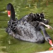 Black swans — Stock Photo #10569173