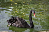 Black swan — Stock Photo