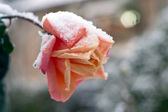 Red rose under the snow. — Stock Photo