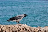 Crow at the seaside — Stockfoto