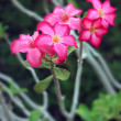 Impala lily flowers — Stock Photo
