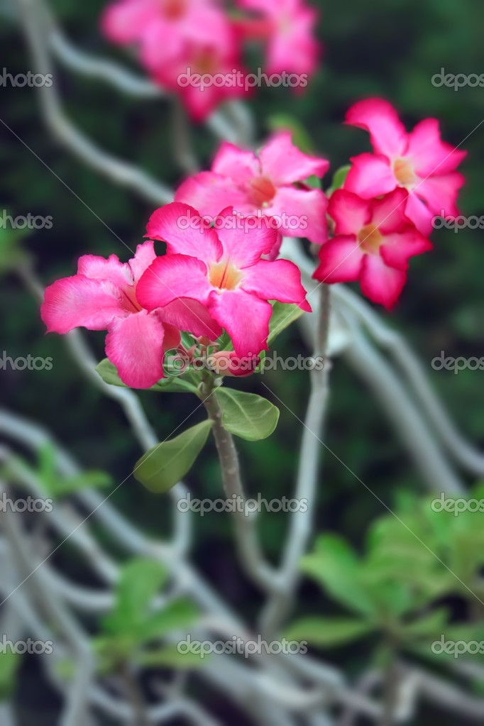 Pink impala lily flowers  Stock Photo #10596278