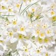 White Crocus flowers — Stock Photo