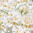 Stock Photo: White Crocus flowers