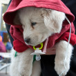 White puppy dressed in a red jacket with a hood on his neck hang — Stock Photo
