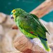 Stock Photo: Fischer's Lovebird