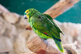 Fischer's Lovebird — Stock Photo