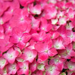 Stock Photo: Pink Hydrangeflower
