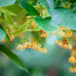 Lime-tree blossoms — Stock Photo