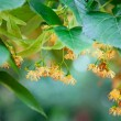 Stock Photo: Lime-tree blossoms