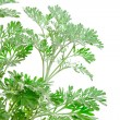 Fresh green Artemisia absinthium (absinthium, absinthe wormwood, - Stock Photo