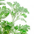 Fresh green Artemisia absinthium (absinthium, absinthe wormwood, — Stock Photo