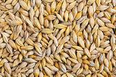 Barley grain (Hordeum) — Stock Photo