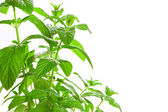 Fresh green Mint (Mentha) isolated on white background. — Stock Photo