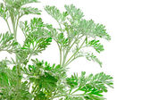Verde fresco de la artemisia absinthium (absintio, ajenjo ajenjo, — Foto de Stock