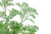 Artemisia absinthium (absinthium, absinthe wormwood, wormwood, s — Stock Photo