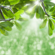 Green leafs and sun beams. — Stock Photo #10598166
