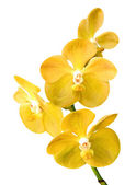 Blossom yellow vanda orchid — Stock Photo