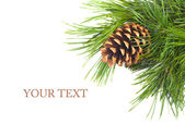 Pine cone on branch — Stock Photo