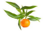 Mandarin on a branch — Stock Photo