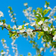 Apple blossoms - Stock Photo