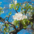 Stock Photo: Pear blossoms